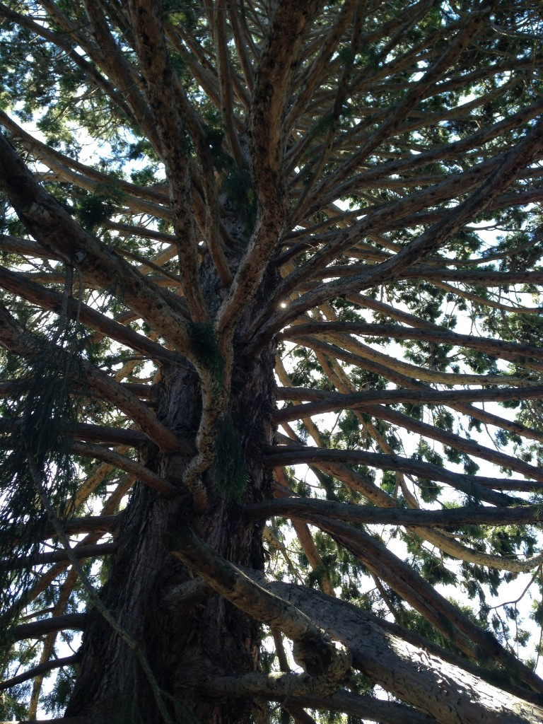 Giant Wellington sequoia, Queenstown, NZ