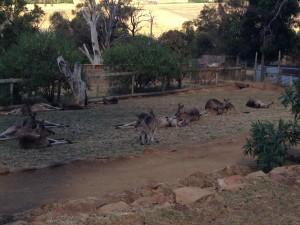 Kangaroos, Bonorong, Tasmania, Australia