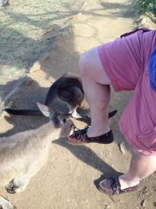 Kangaroos, Bonorong Wildlife Center, Tasmania, Australia
